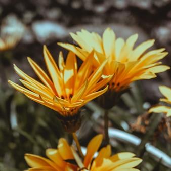 Selektywne ujęcie ostrości żółtych kwiatów gatsaniya