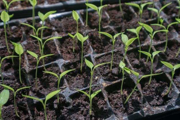 Selektywne zbliżenie zielonej sadzonki. zielona sałatka rośnie z nasion