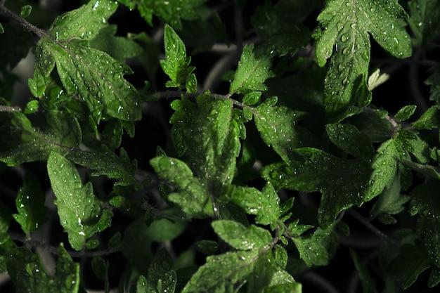 Selektywnie zogniskowane ujęcie mokrych zielonych liści