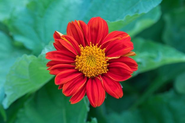 Selektywny fokus kwiat młodości i wieku. (zinnia elegans)