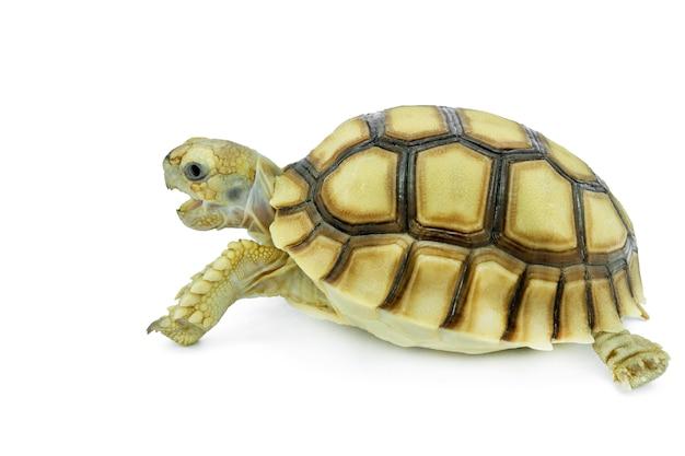 Selektywny fokus, mały żółw na białym tle. plik zawiera ścieżkę przycinającą, dzięki czemu jest łatwa w obróbce.