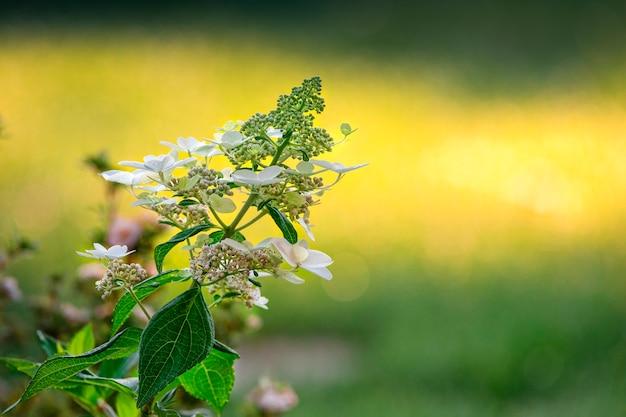 Selektywny fokus młody nieotwarty kwiat forsycji, nieostre tło.
