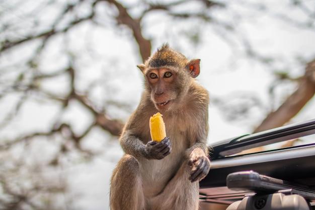 Selektywny fokus ujęcie tajskiej małpy naczelnej na samochodzie w tajlandii