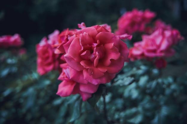 Selektywny strzał z różowych róż w ogrodzie
