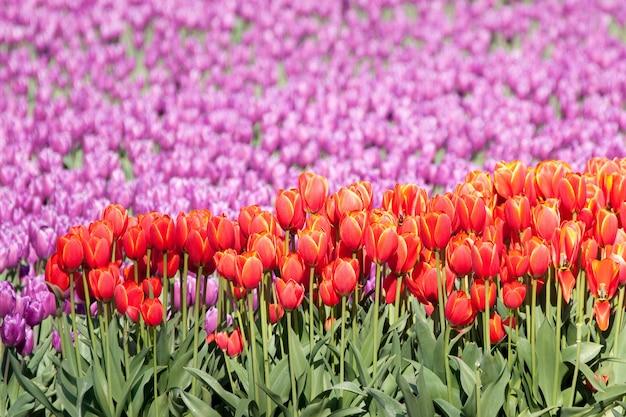 Selektywny wybór czerwonych tulipanów w polu tulipanów pod światłem