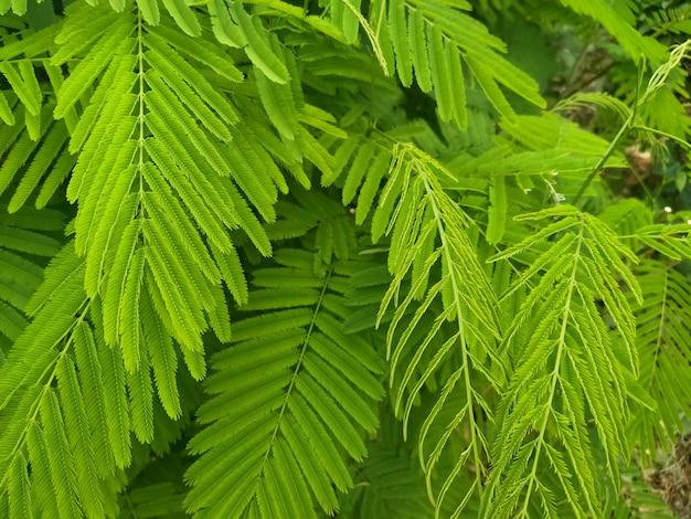 Senegalia pennata zielone liście