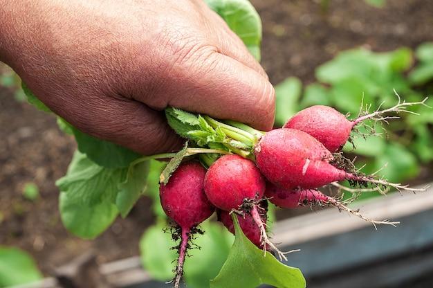 Senior męska ręka ze świeżych zbiorów organicznej czerwonej rzodkiewki. zbliżenie