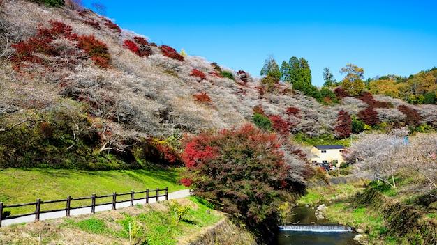 Senmi shikizakura, japonia miejsce, w którym kwitną wiśnie i rzeka w sezonie jesiennym.