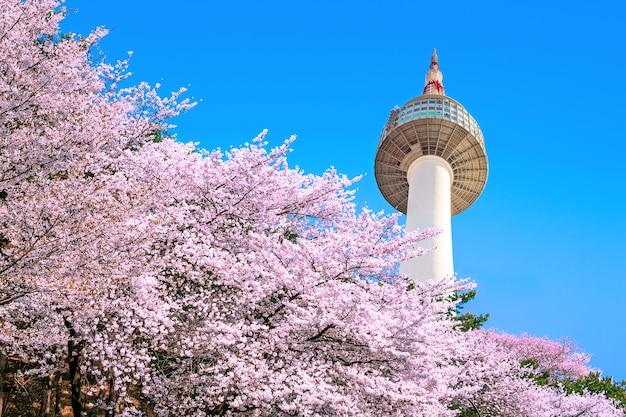 Seoul tower i pink cherry blossom, sakura sezon wiosną, seul w korei południowej