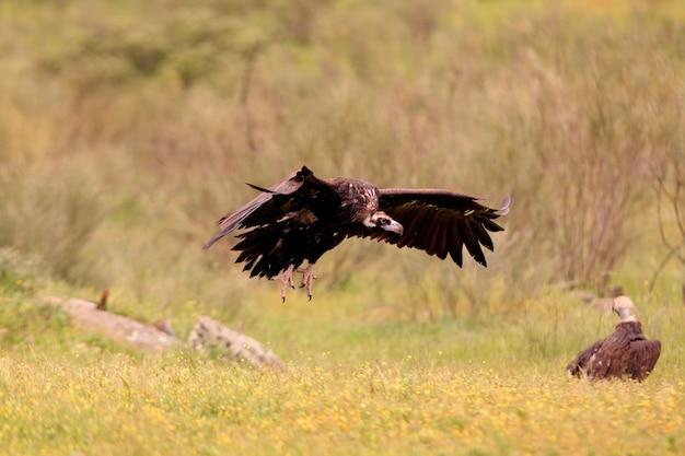 Sęp czarny lecący z pierwszym światłem dnia