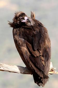 Sęp czarny z pierwszym blaskiem świtu