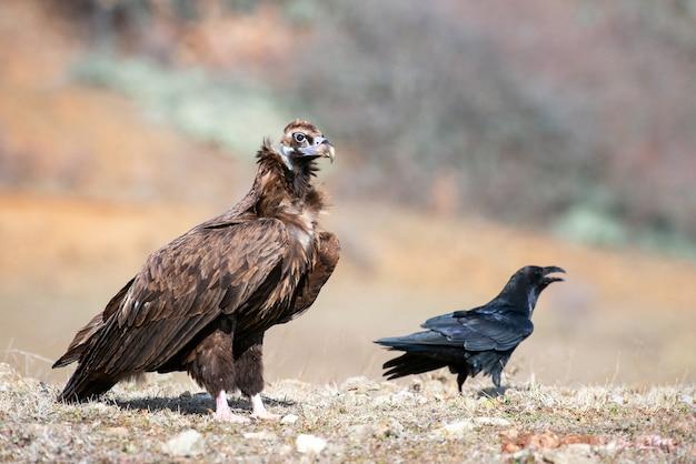Sęp kasztanowaty (aegypius monachus) i kruk (corvus corax) na wolności.