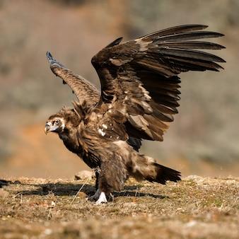 Sęp kasztanowaty z otwartymi skrzydłami.