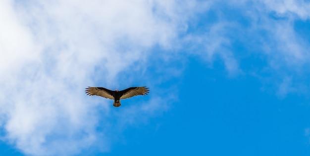Sęp latający na niebieskim, zachmurzonym niebie - idealny na tapetę