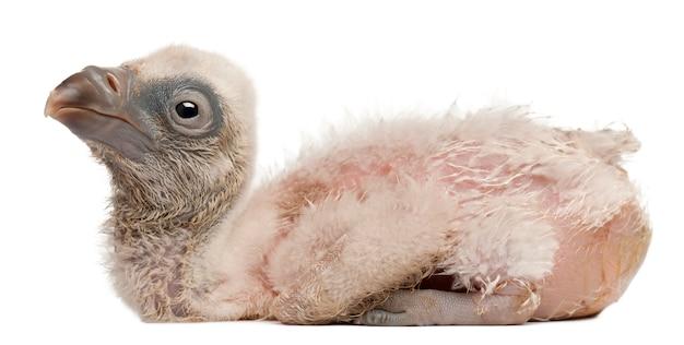 Sęp płowy gyps fulvus przed białym tłem