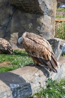 Sęp płowy (gyps fulvus) to duży sęp starego świata z rodziny ptaków drapieżnych accipitridae. gryf euroazjatycki w zoo w kazaniu.