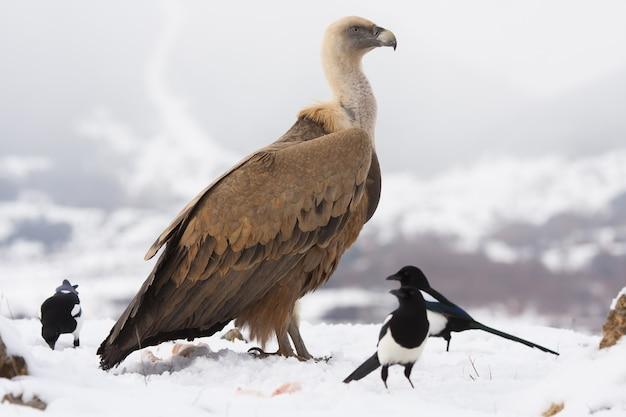 Sęp płowy otoczony małymi ptakami na śniegu