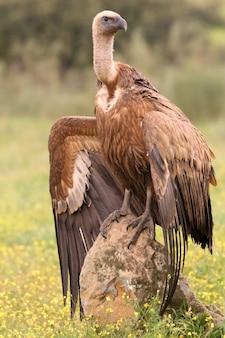 Sęp płowy z pierwszymi światłami poranka