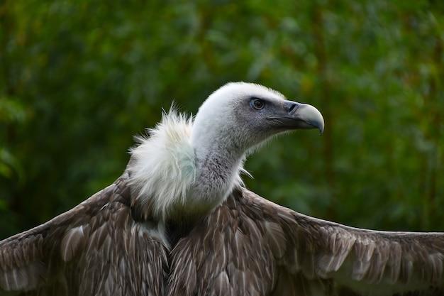 Sęp płowy z szeroko rozpostartymi skrzydłami