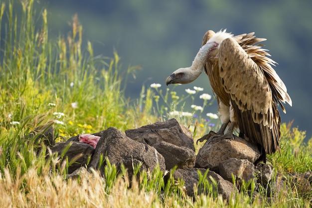 Sęp płowy żerujący na mięsie w nasłonecznionej letniej naturze