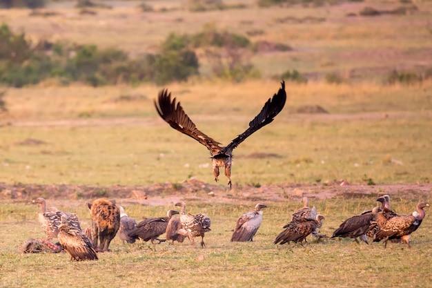 Sępy na sawannie parku narodowego masai mara w kenii w afryce.