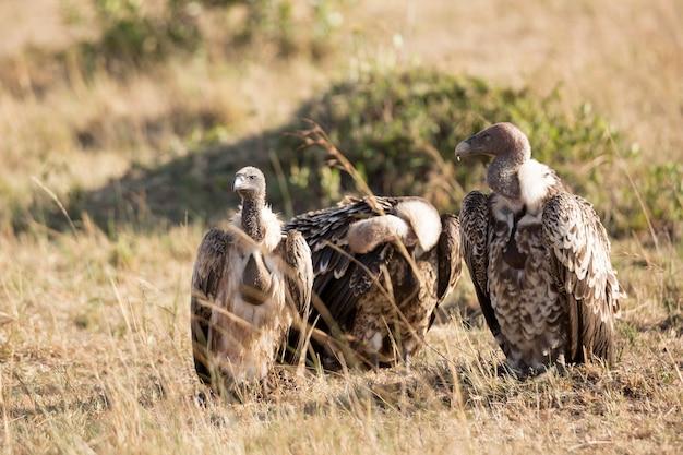 Sępy w sawannie parku narodowego masai mara w kenii, afryka