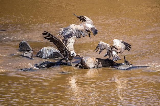 Sępy żerujące na antylopach gnu w rzece w parku narodowym masai mara, dzikie zwierzęta na sawannie. kenia, afryka