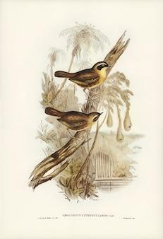 Sercowata żółknąta (sericornis citreogularis) zilustrowana przez elizabeth gould