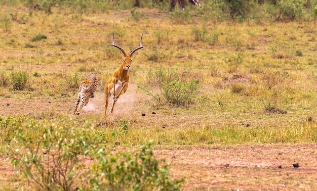 Seria zdjęć gepard polujący na wielką impalę