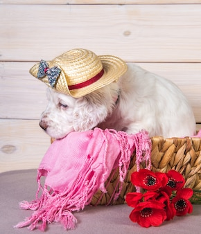Seter angielski szczeniak w słomkowym kapeluszu w drewnianym koszu z kwiatami maku.