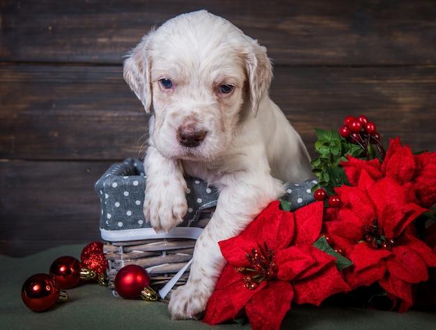Seter angielski szczeniak z czerwonymi kwiatami poinsecji i bożonarodzeniowymi globusami
