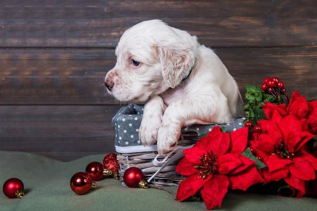 Seter angielski szczeniak z czerwonymi kwiatami poinsettia.