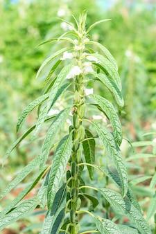 Sezam jest wysoką roczną rośliną zielną