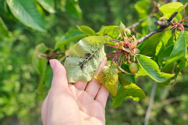 Sezon wiosenny, drzewo wiśniowe, zbliżenia owadów mszyce szkodniki