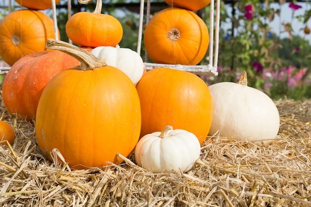 Sezon zbiorów dyni w gospodarstwie