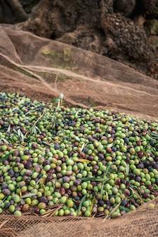 Sezonowy zbiór oliwek w apulii na południu włoch