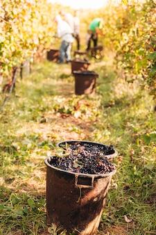 Sezonowy zbiór winogron primitivo w winnicy
