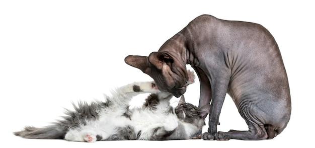 Sfinks bawi się z kotkiem maine coon przed białą ścianą