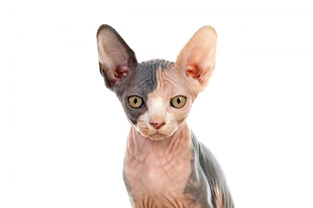 Sfinks cat