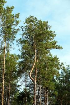 Sfotografowałem wierzchołki sosen, sfotografowałem zbliżenie wierzchołka sosen rosnących w lesie