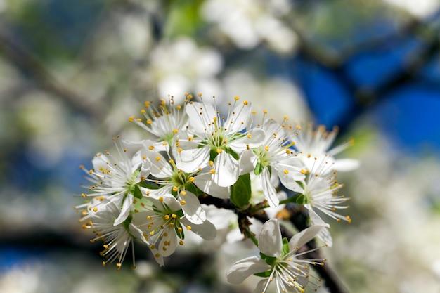 Sfotografowane kwiaty białe kwiaty wiśni. wiosna
