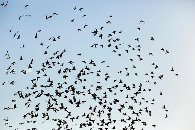 Sfotografowane z bliska błękitne niebo, na którym stado ptaków latających, widoczne sylwetki, w ciągu dnia,
