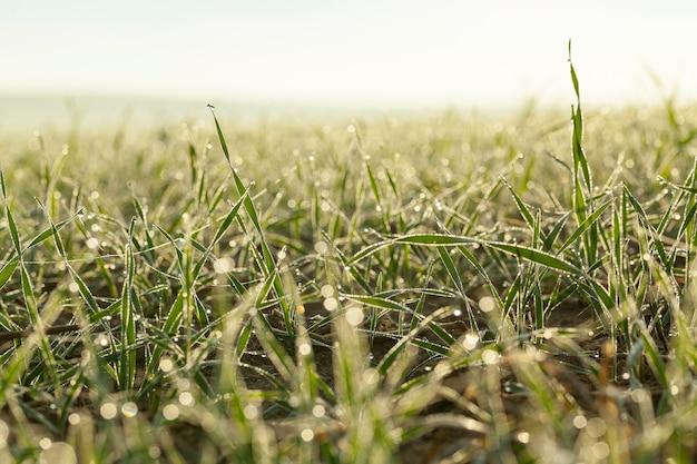 Sfotografowane z bliska młode rośliny trawiaste zielona pszenica rosnąca na polach uprawnych, rolnictwo, poranna rosa na liściach,