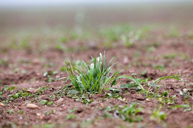 Sfotografowane z bliska młode rośliny trawiaste zielona pszenica rosnąca na polach uprawnych, rolnictwo, sezon jesienny,