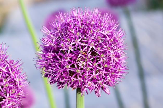 Sfotografowane zbliżenie cebuli kwiatowej okrągłej rosnącej na polu uprawnym i niezbędnej dla nasion, małej głębi ostrości.