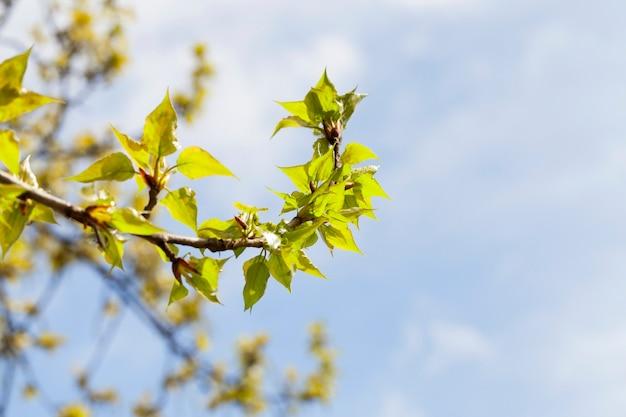 Sfotografowane zbliżenie młodych zielonych liści na lipie wiosną w kwietniu,