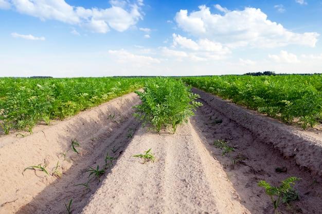 Sfotografowane zbliżenie pola uprawnego, na którym rosną zielone pędy marchwi, na powierzchni błękitnego nieba z białymi chmurami