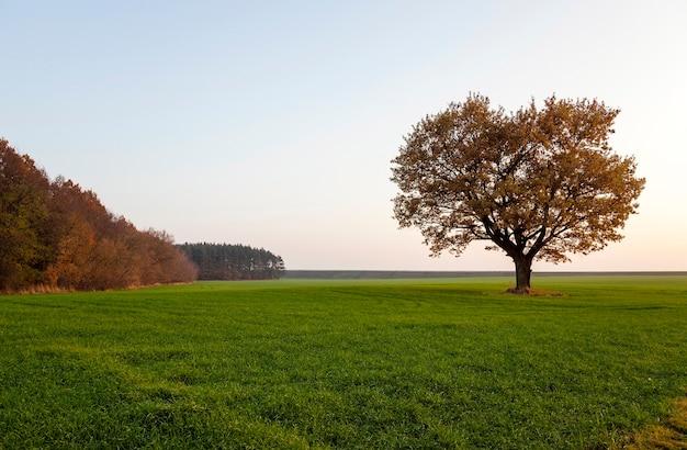 Sfotografowany dąb jesienią. dąb na polu rolnym
