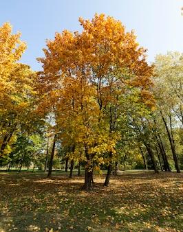 Sfotografowany klon jesienią. na gałęziach pożółkłe i żółte liście.
