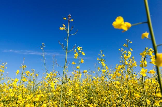 Sfotografowany rosnący w rolnym polu rzepaku kwiat, błękitne niebo w